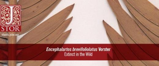 Encephalartos bervifoliolauts Vorster