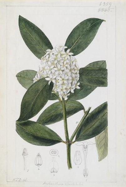 Acokanthera spectabilis Benth. illustration from Curtis's Botanical Magazine