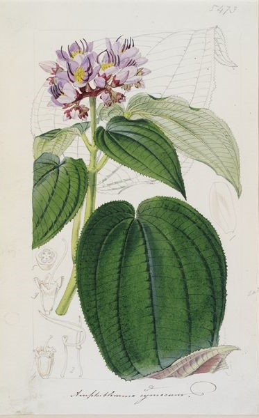 Amphiblemma cymosum Naud. illustration from Curtis's Botanical Magazine
