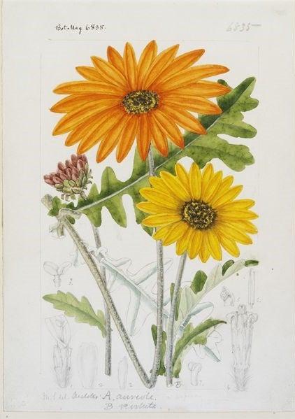 Arctotis aureola Edward and A. revoluta Jacq. original illustration from Curtis's Botanical Magazine